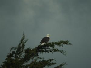 Bald Eagle by Eddie Mikus (Large)