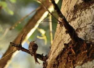 Brown Creeper by John Batchelder (Large)