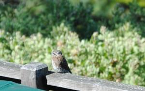 False Eye spots of Pygmy Owl by Jeanne Jackson