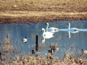 Three Tundra Swans and Mallards by Martin Steinpress