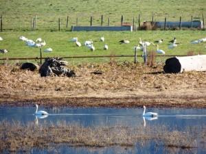 Tundra Swans by Martin Steinpress