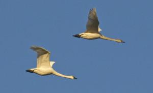 Tundra Swans by Steve Wilcox