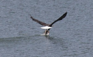 Bald Eagle flips the fish by Zak Rudy