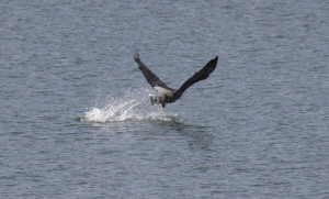 Bald Eagle gets its meal by Zak Rudy