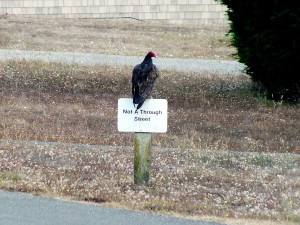 Enter at your own risk - a Turkey Vulture by Rob Diefenbach