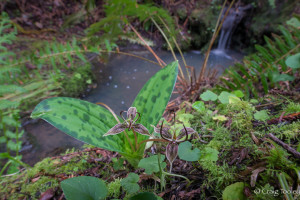 Fetid Adder's Tongue, the first wildflower of the year, by Craig Tooley
