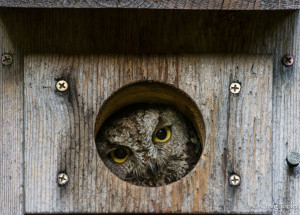 A Western Screech-owl in a nesting box by Craig Tooley