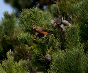 A male Red Crossbill looking at me by Sharon Beals