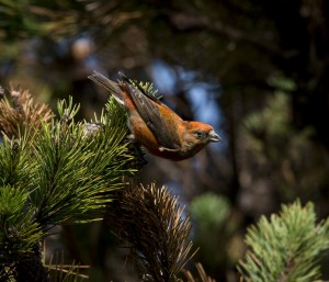 Found something - a male Red Crossbill by Sharon Beals