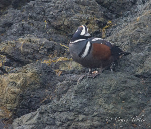 Harlequin Duck poses by Craig Tooley