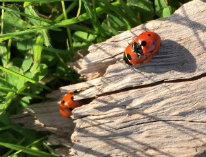 Ladybugs mating by Clay Yale