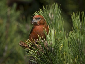 Male Crossbill finds a seed by Sharon Beals