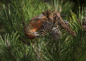 There's got to be food in here - a male Red Crossbill