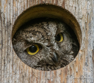 Western Screech-Owl finds a home by Craig Tooley