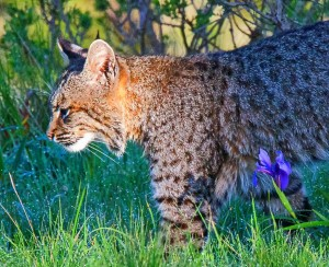 A Bobcat on the prowl by Allen Vinson
