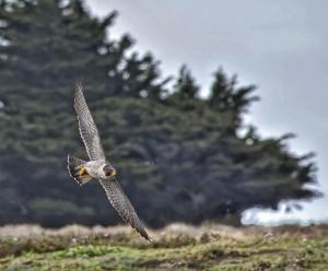 A Peregrine Falcon soars by Michael Beattie