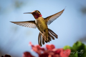 Anna's Hummingbird backlit by the sun by Craig Tooley