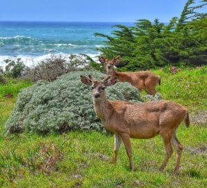 Bucks in velvet by Michael Beattie