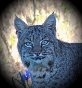 Close-up of a beautiful Bobcat by Allen Vinson