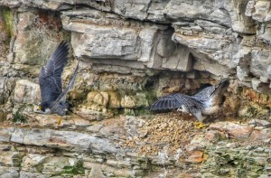 Mated Peregrine Falcon pair by Michael Beattie