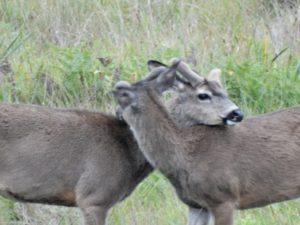 Two Bucks preening each other in a meadow by Jon Loveless