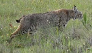 Bobcat moving through the grasses by Jon Loveless