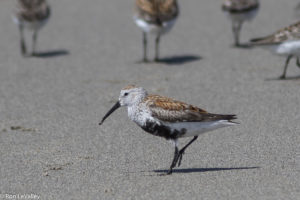 Dunlin by Ron LeValley