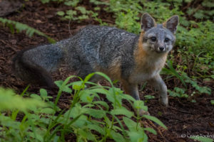 Gray Fox looking for a good spot to give birth by Craig Tooley