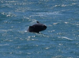 Gray Whale calf breaching by Gail Eddy