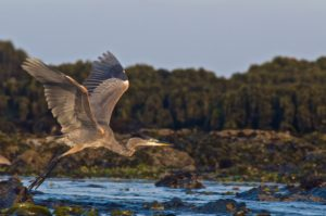 Great Blue Heron by Craig Tooley high res