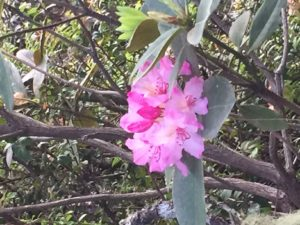 Pacific Rhododendron by Catherine Miller