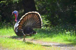 Tom Turkey displaying by Barbara Thrush