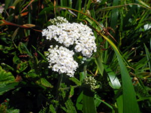 Yarrow, Achillea millefolium, by Mary Sue Ittner