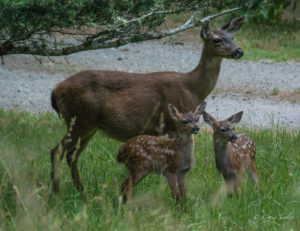A Doe and her sweet twin Fawns by Craig Tooley