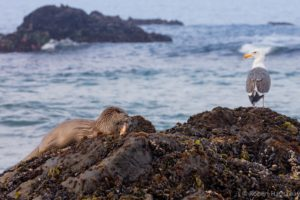 Breakfast at Ohlson Beach - a River Otter and a Western Gull by Bob Hathaway