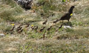 CA Quail chicks following Mom by Jon Loveless