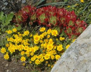 Goldfields, Lasthenia california, by Bob Rutemoeller