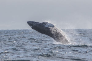 Humpback Whale offshore from Fort Bragg by Ron LeValley
