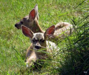 Just Born Fawns in Yard by Robert Scarola