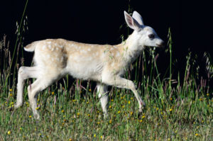 Nearly-white Fawn by John Batchelder