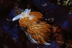 Opalescent Nudibranch by Ken Bailey