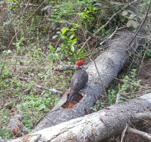 Pileated Woodpecker by Dave Tettleton