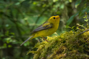Wilson's Warbler by Craig Tooley