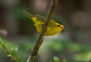 Wilson's Warbler perches by Craig Tooley