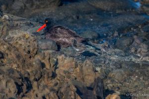 And then there were three, Black Oystercatcher chicks by Craig Tooley