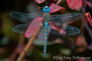 Blue Dasher Dragonfly October at the Art Center by Craig Tooley