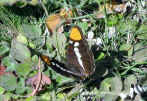 California Sister Butterfly by Gail Eddy