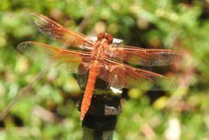 Flame Skimmer Dragonfly on my sprinkler head by Jeanne Jackson