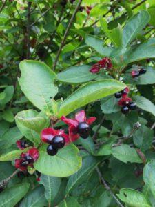 Fruit of Bush Honeysuckle by Peggy Berryhill