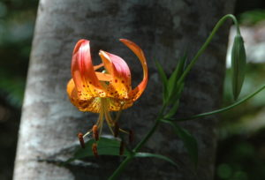 Leopard Lily by Bob Rutemoeller